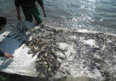 В водоемы Запорожской области выпустили рыбу - 1000000 штук
