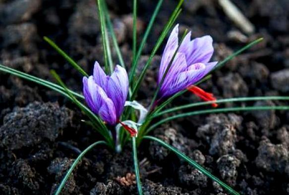 В Запорожье начали успешно выращивать шафран