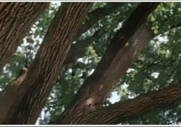 Легендарный запорожский дуб в 1981 году