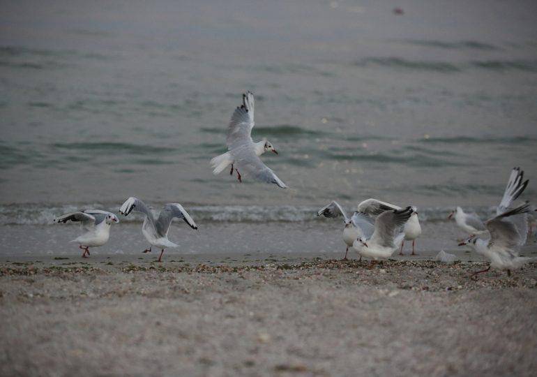 В Молочный лиман пошёл пиленгас из Азовского моря