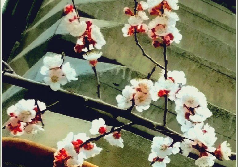 В Запорожье зацвели абрикосы