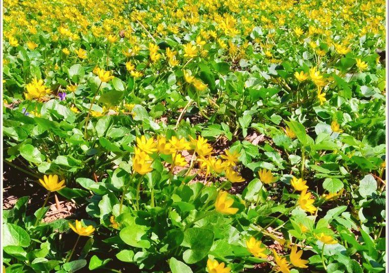 В Запорожье - лютиковая весна (фото)