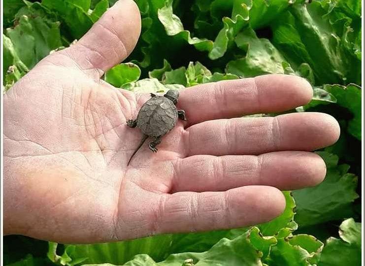 В Запорожской области на салатной ферме обнаружили крохотную черепашку с длинным хвостом