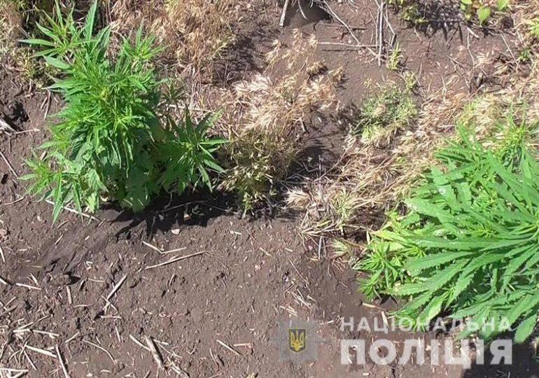 На Запоріжжі працівники сектору кримінальної поліції ліквідували посів нарковмісної рослини