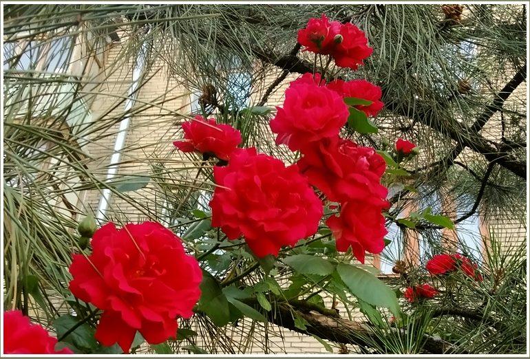 В Запорожье сосна зацвела… розами  (фото)