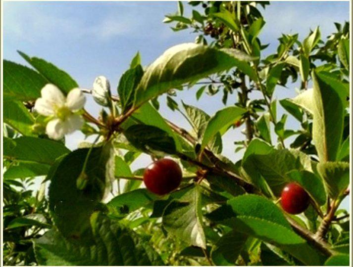 В Мелитополе зацвела вишня, которая... плодоносит