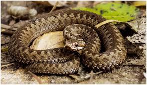 На Запоріжжі пенсіонерку вкусила змія