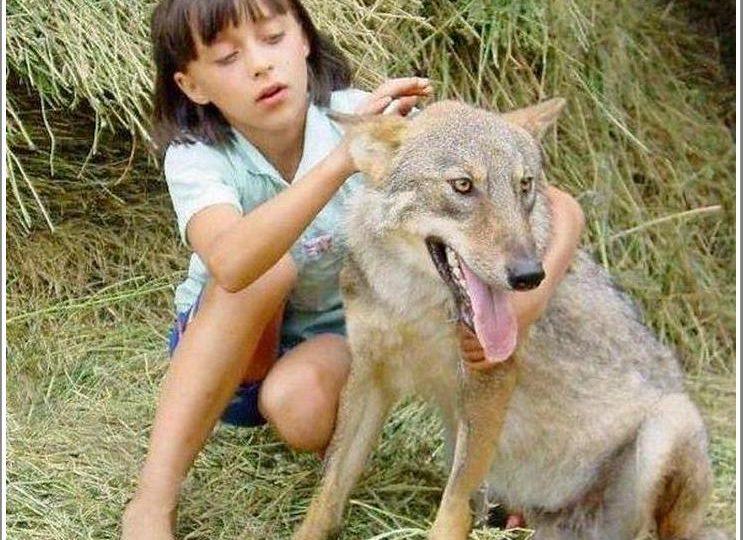 Волки в Запорожской области: Акела