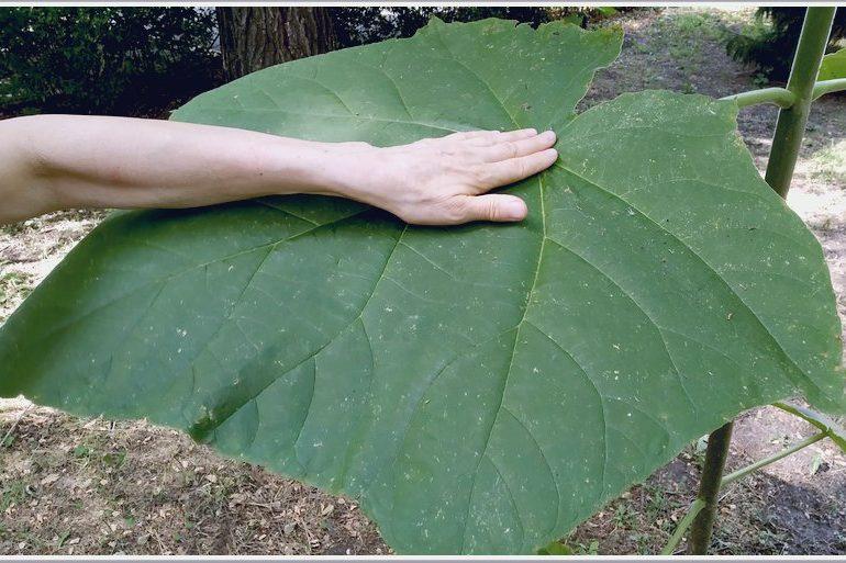 В центре Запорожья растет дерево с гигантскими листьями — МИГ