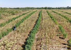 В Запорожской области на поле подсолнечника обнаружены наркотики на 10 миллионов гривен