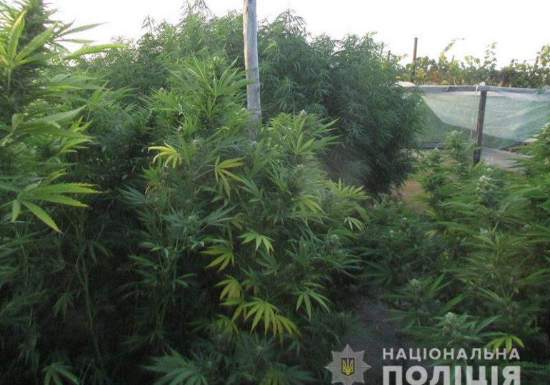 В Мелитопольском районе коноплю выращивали в теплицах