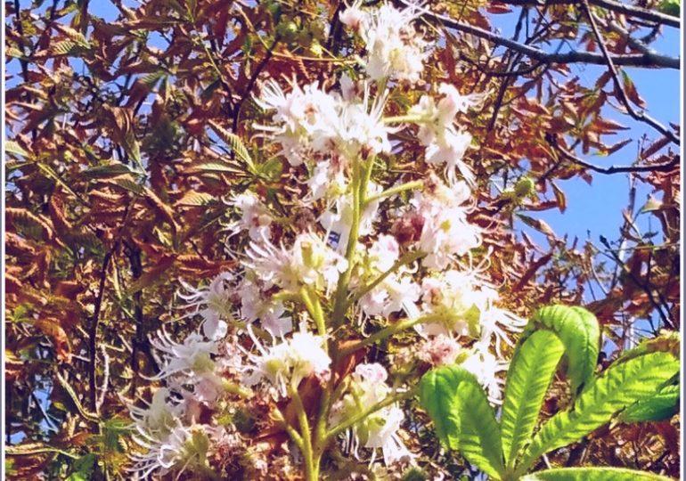 В Запорожье снова цветут каштаны… сентябрьские