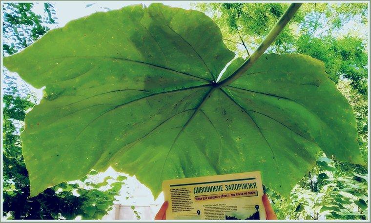 В центре Запорожья растет дерево с невероятно большими листьями