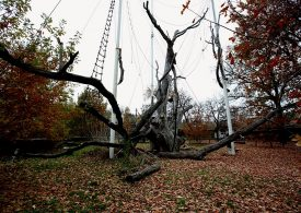 В Запорожье повесился… легендарный дуб (фото, видео)