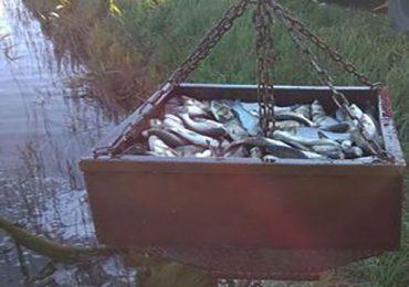 В Дніпровське водосховище випустили товстолоба