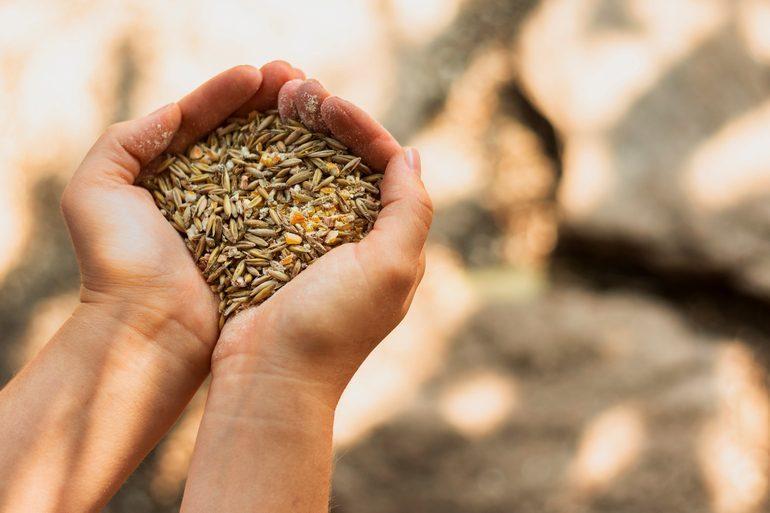 Україна отримала право експортувати насіння зернових на ринок ЄС