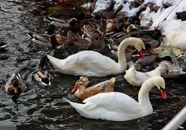 Помоги птицам! Утиные страдания: лапки мерзнут и кушать хочется